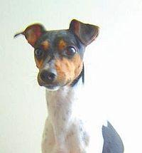 200px-Brazilian_terrier