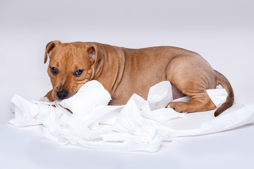 Cute staffordshire terrier puppy and roll of toilet paper